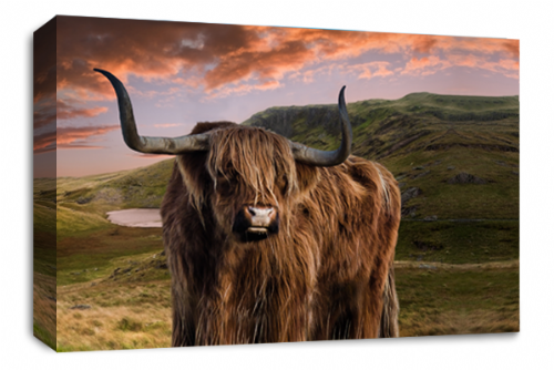 Scottish Highland Cattle Canvas Art Picture Brown  Grey White Animal Wall Print 30 x 20